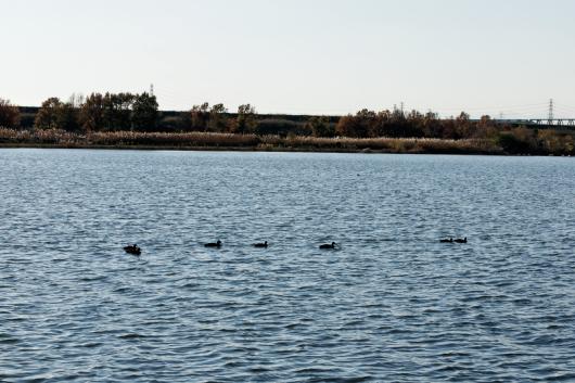 彩湖水鳥の群れ