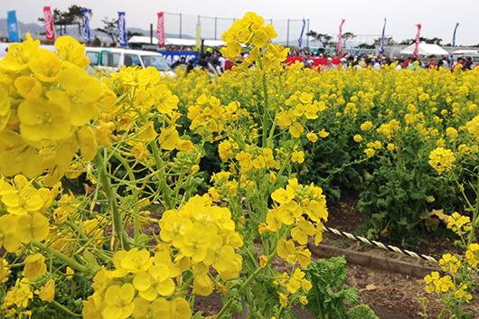 館山菜の花