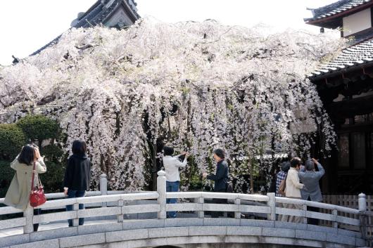 玉蔵院しだれ桜2014-02