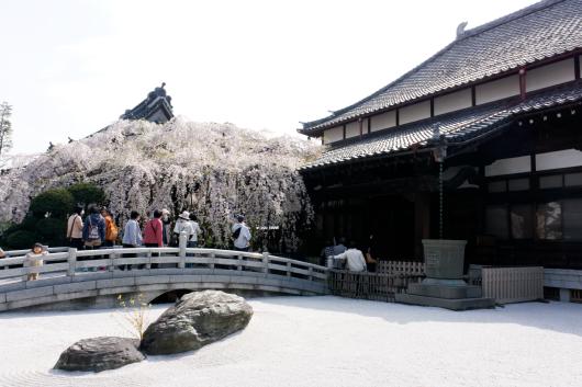 玉蔵院しだれ桜2014-11