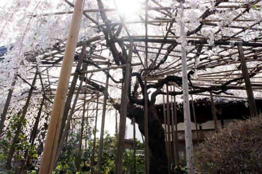 玉蔵院しだれ桜2014-08
