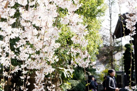 玉蔵院しだれ桜2014-09