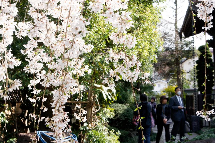 [満開2014] 玉蔵院のしだれ桜 @さいたま市 浦和