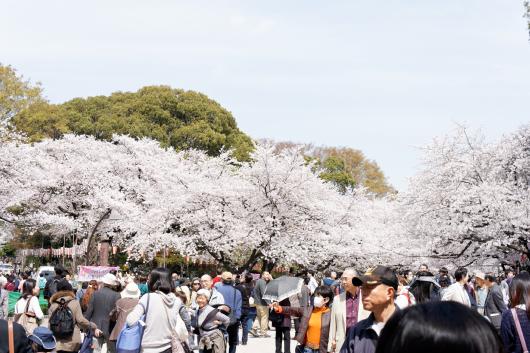 上野公園桜2014-02