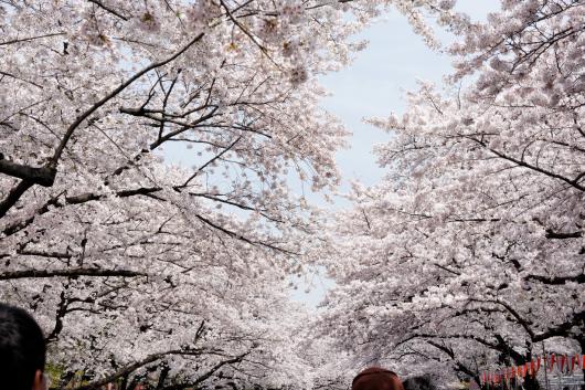 上野公園桜2014-03