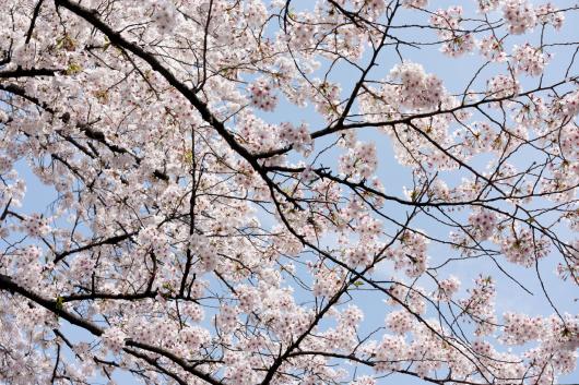 上野公園桜2014-05