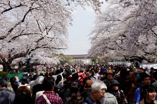 上野公園桜2014-06